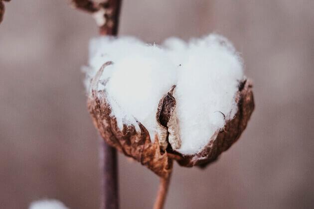 ¿Sabemos cuál es el color originario del algodón?